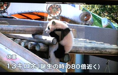 和歌山県白浜町のアドベンチャーワールドの赤ちゃんパンダ「優浜(ゆうひん)」