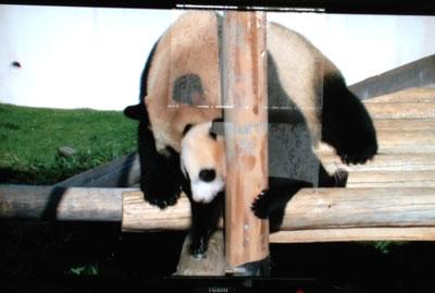 和歌山県白浜町のアドベンチャーワールドの大人パンダ