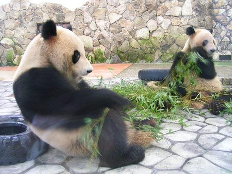 アドベンチャーワールドの双子パンダ