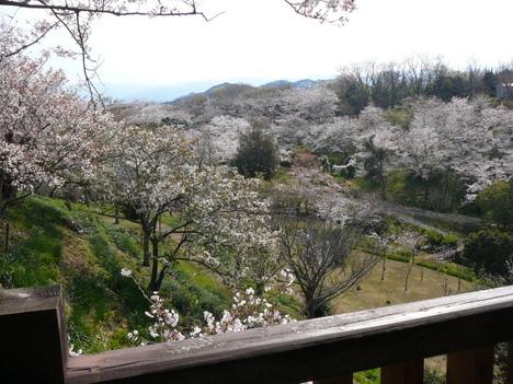 桜の名所「平草原(へいそうげん)」