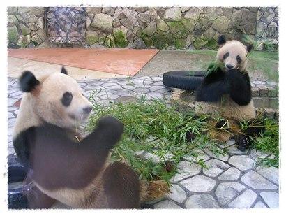 2006年に撮影したアドベンチャーワールドの双子パンダの写真